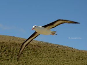 Schwarzbrauen Albatros Falklandinseln Malvinas