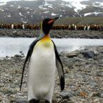 Königspinguin Südgeorgien Antarktis