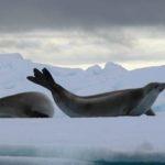 Robben in der Antarktis