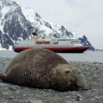 Seeelefant in der Antarktis Hurtigruten Postschiff