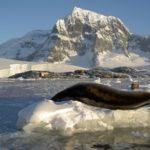Seeleopard und Raubmöven vor Port Lockroy Antarktis