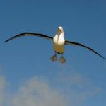 Albatros auf News Island Falklandinseln / Malvinas